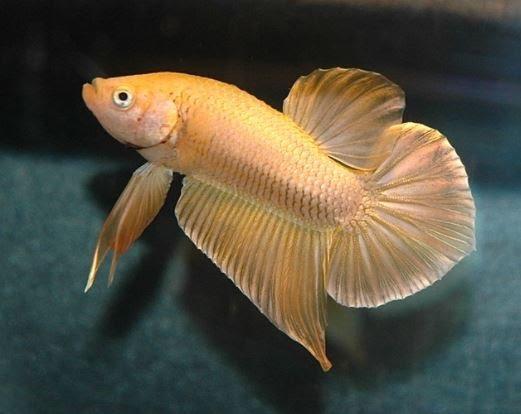 jenis ikan cupang emas